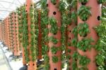 На Київщині освоїли технологію вирощування рослин без грунту Рис.1