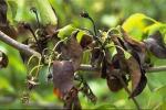 Бактеріальний опік груші та яблуні - чи є антибіотики для лікування? Рис.1