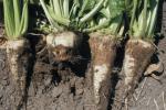 Цього року в Україні можливий прояв коренеїду сходів цукрових буряків Рис.1