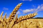 Новий стандарт на пшеницю вступає в дію з 10 червня 2019 року Рис.1