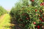 Технології органічного підживлення садів Рис.1