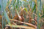 «Чхання» рослин поширює інфекції Рис.1