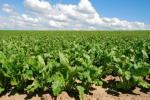 Посіви цукрових буряків у західних областях масово заселяють шкідники Рис.1