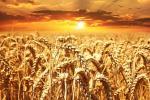 Посухостійка пшениця з контролем транспірації спроектована на випадок глобального потепління Рис.1