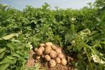 На Колимі виведена морозостійка картопля Рис.1