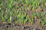 Протиерозійна стійкість ґрунту під час вирощування озимої пшениці залежить від її попередників Рис.1