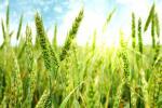 Деякі нові сорти пшениці погіршують якість зерна - експерт Рис.1