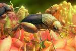 Знайдений в бурштині жук почав запилювати рослини на 50 млн років раніше, ніж вважали вчені Рис.1