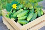 Вчені назвали найефективніші регулятори росту для огірка Рис.1