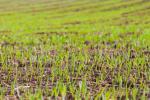 Агрокліматичні умови цьогорічної зими сприяють розвитку хвороб і шкідників - думка Рис.1