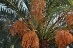Іудейські фінікові пальми виросли з насіння віком 2000 років Рис.1