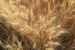 Дослідники розробили нову технологію скринінгу пшениці на стресостійкість Рис.1