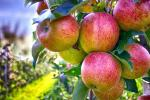 Вчені назвали спосіб миття яблук, який знищує мікроби та пестициди Рис.1