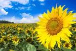 Американці розробили технологію, яка дозволяє істотно збільшити прибутковість переробки соняшнику Рис.1