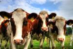 Для корів вивели спеціальний сорт капусти Рис.1