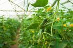 Міжнародні дослідники продемонстрували успішність вирощування овочів за допомогою штучного інтелекту Рис.1