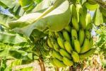 У США виростили перший урожай бананів без грунту Рис.1
