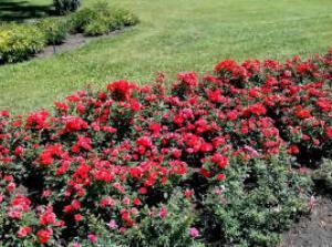 Бордюрні троянди Рис.1