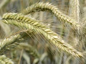 жито озиме