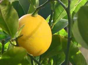 Лимон Мейєра Рис.1
