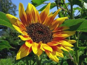 соняшник однорiчний декоративний Рис.1
