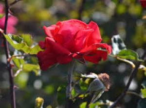 троянда Рис.1