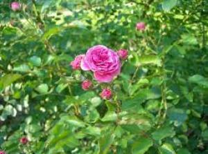 троянда дамаська Рис.1