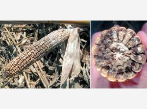 Диплодіоз кукурудзи Рис.1