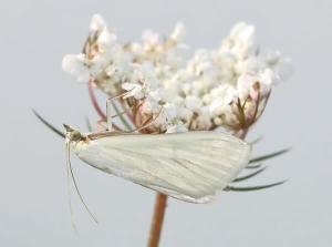Блідий лучний метелик