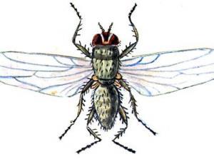 Бурякова мінуюча муха