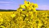 Цвітіння ріпаку в Україні: аграрії вже оголосили війну шкідникам Рис.1