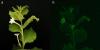 Генетики виростили тютюн, що світиться в темряві Рис.1