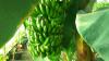 На Львівщині запустили першу бананову ферму Рис.1