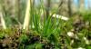 Генетична особливість стародавньої рослини допоможе збільшилися врожайність Рис.1