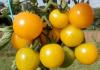 Свободу насінню томатів вимагають селекціонери Рис.1